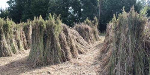 coltivazione-canapa-mj-passion