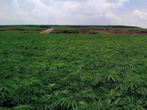 piantagione-canapa